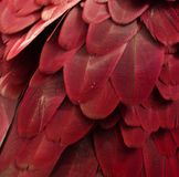 Plumas rojas del Macaw Foto de archivo libre de regalías