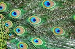 Plumas verdes masculinas del pavo real imagen de archivo