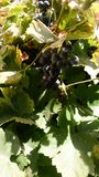 Plumb grapes on The vine royalty free stock image