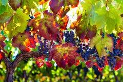 Variegated Vine royalty free stock image
