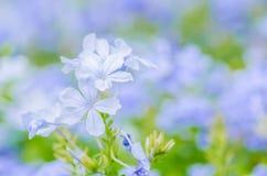 Plumbagina Auriculata Foto de Stock Royalty Free