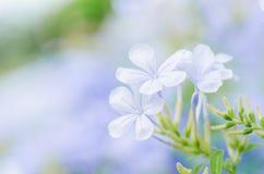 Plumbagina Auriculata Imagem de Stock Royalty Free