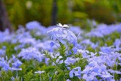 Plumbagina Auriculata Fotografia de Stock