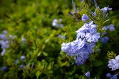 Plumbagina Auriculata Fotografia de Stock Royalty Free