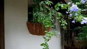 Plumbagina da flor como uma decoração Imagem de Stock Royalty Free