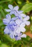 Plumbaginaceae Royaltyfri Fotografi