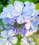 Plumbaginaceae стоковые изображения