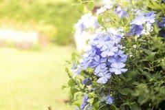 Plumbaginaceae Royalty-vrije Stock Foto's