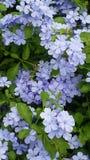 Plumbaginacease flowers royalty free stock image