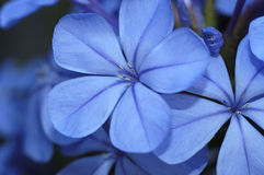 Plumbago royalty free stock images