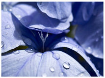 Plumbago. Blue plumbago flower with raindrops Royalty Free Stock Photography