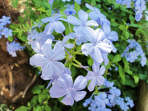 plumbago stockfotos