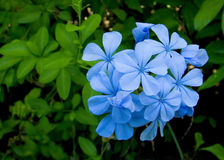 Plumbago auriculata. Shrub Stock Photos
