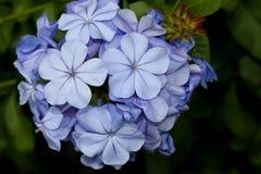 Plumbago auriculata, Blue Plumbago,  Cape leadwort Stock Photos