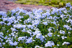 Plumbago auriculata Royalty Free Stock Photo