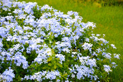 Plumbago auriculata. Bright blue flowers Chelsea Flower Flowering Shrubs  Blue Clover Flower Royalty Free Stock Image