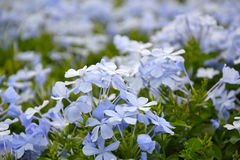 Plumbago auriculata Royalty Free Stock Photography