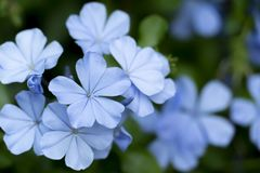 Plumbago Auriculata Colorful flowers stock images