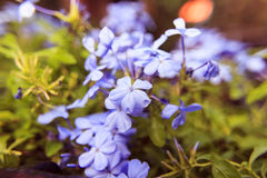 Plumbago auriculata flowers soft blur background Stock Image