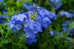 Plumbago auriculata. Group of plumbago auriculata in blue color with green leaf background, selective focus Royalty Free Stock Photos