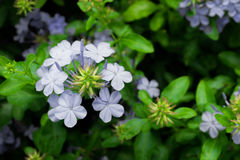 Plumbago auriculata. Group of plumbago auriculata in blue color with green leaf background, selective focus Royalty Free Stock Image