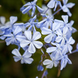 Plumbago auriculata Lam Royalty Free Stock Photos