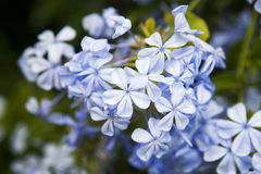 Plumbago auriculata Lam Royalty Free Stock Photo