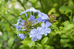 Plumbago auriculata light blue flowering plant. Plumbago auriculata, common names blue plumbago, Cape plumbago or Cape leadwort, light blue flowering plant Royalty Free Stock Photos