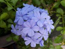Sweet violet Plumbago auriculata Plumbaginaceae in the morning stock images