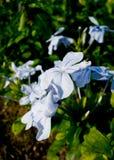 Plumbago auriculata przylądka lub zwiania leadwort lub leadwort Zdjęcia Stock