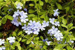Plumbago is blooming in the garden Royalty Free Stock Images