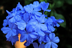 Plumbago Royalty Free Stock Photo