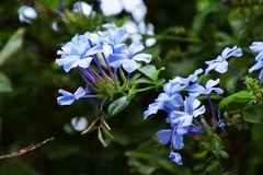 Plumbago capensis. Makes you feel refreshing coolness in the hot summer with its light blue flowers Stock Photography