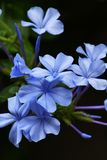 Plumbago capensis. Makes you feel refreshing coolness in the hot summer with its light blue flowers Royalty Free Stock Images