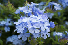 Plumbago. Capensis small blue flowers of Israel Stock Image