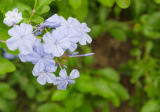 Plumbago in Chiang Mai garden Royalty Free Stock Images