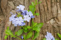 Plumbago in Chiang Mai garden Royalty Free Stock Photos