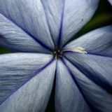 Plumbago. Close up of a blue plumbago bloom Stock Images