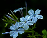 Plumbago. Is an evergreen shrub with whip-like semi-woody stem that form a loose, rounded mound 3-10 ft high with a similar spread.  can be pruned to grow like Stock Images