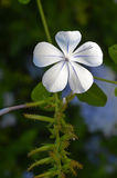Plumbago flower. Portrait in the garden Royalty Free Stock Images
