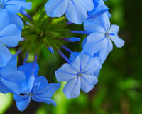 Plumbago. Flower with blue petals Stock Image