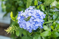 Plumbago flower. Violet vegetation botany Stock Images