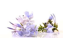 Plumbago flowers Royalty Free Stock Image