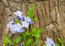 Plumbago in garden Royalty Free Stock Photography
