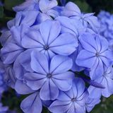 Plumbago. Image of a cluster of plumbago blooms, also known as leadwort Stock Image