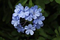 Plumbago kwiaty Zdjęcie Royalty Free