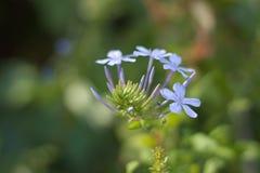 Plumbago kwiaty Obrazy Royalty Free