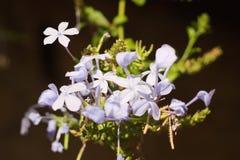 Plumbago kwiaty Obrazy Stock