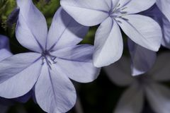 Plumbago plant. Closeup of individual flowers Stock Photo