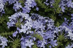 Plumbago plant. Showing many separate flowers Stock Photos